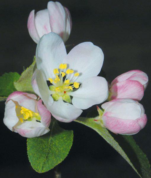 10. CRAB APPLE - Pommier sauvage Fleurs de Bach Laboratoires Bioligo