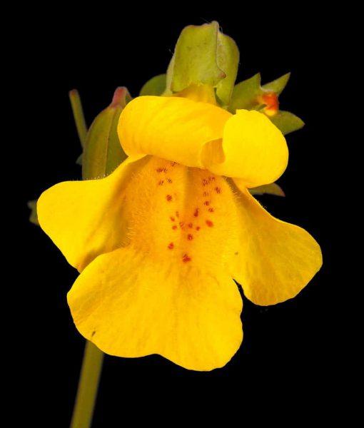 20. MIMULUS - Mimule tacheté Fleurs de Bach Laboratoires Bioligo