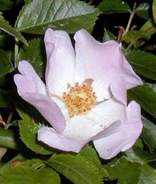 37. WILD ROSE - Eglantier Fleurs de Bach Laboratoires Bioligo