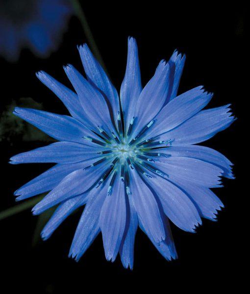 8. CHICORY - Chicorée sauvage Fleurs de Bach Laboratoires Bioligo
