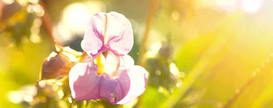 Balsamine de l'Himalaya Fleurs de Bach Laboratoires Bioligo