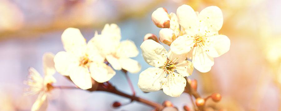 Cherry Plum Fleurs de Bach Laboratoires Bioligo