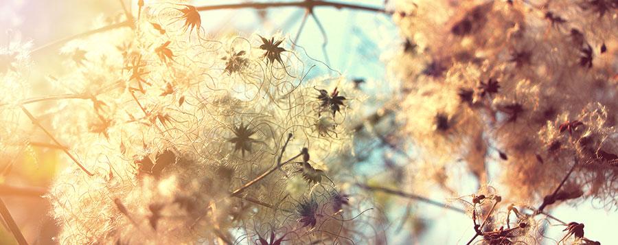 Clématite des haies Fleurs de Bach Laboratoires Bioligo