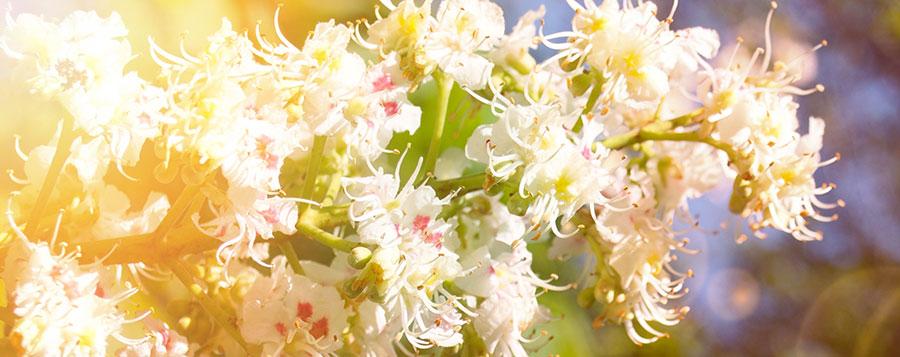 Marronnier blanc Fleurs de Bach Laboratoires Bioligo
