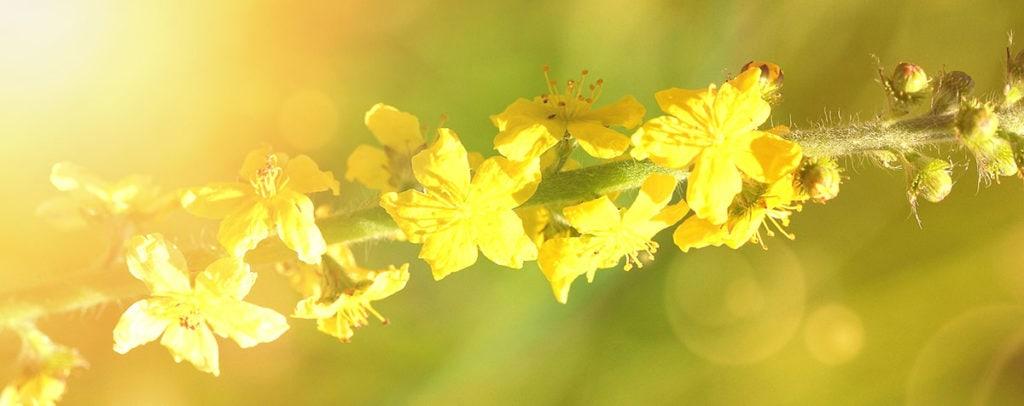 Agrimony Fleur de Bach Bio Laboratoires Bioligo