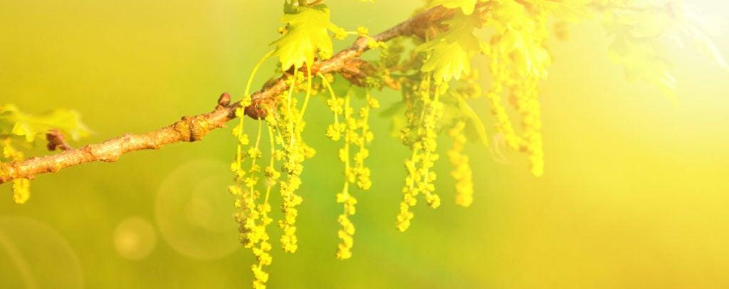 Oak Fleur de Bach Bio Laboratoires Bioligo