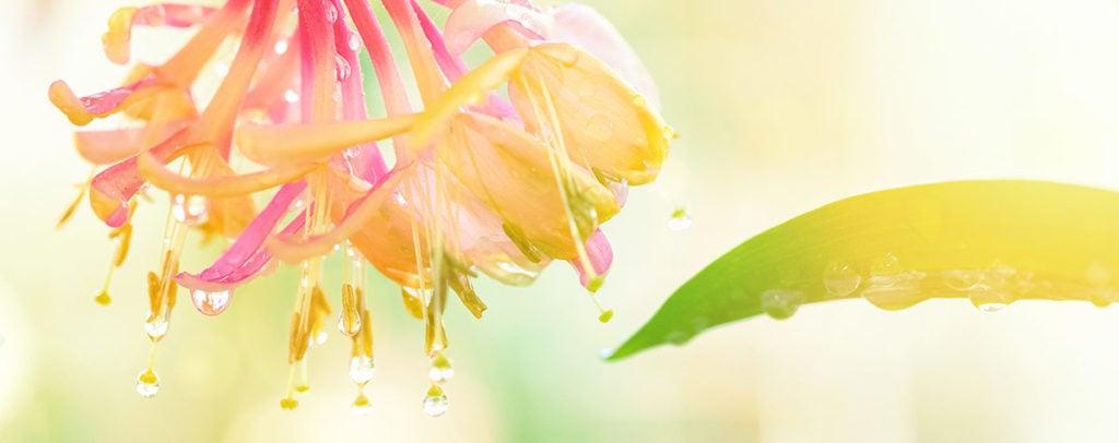 Honeysuckle Fleur de Bach Bio Laboratoires Bioligo