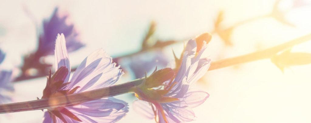 Chicory Fleur de Bach Bio Laboratoires Bioligo