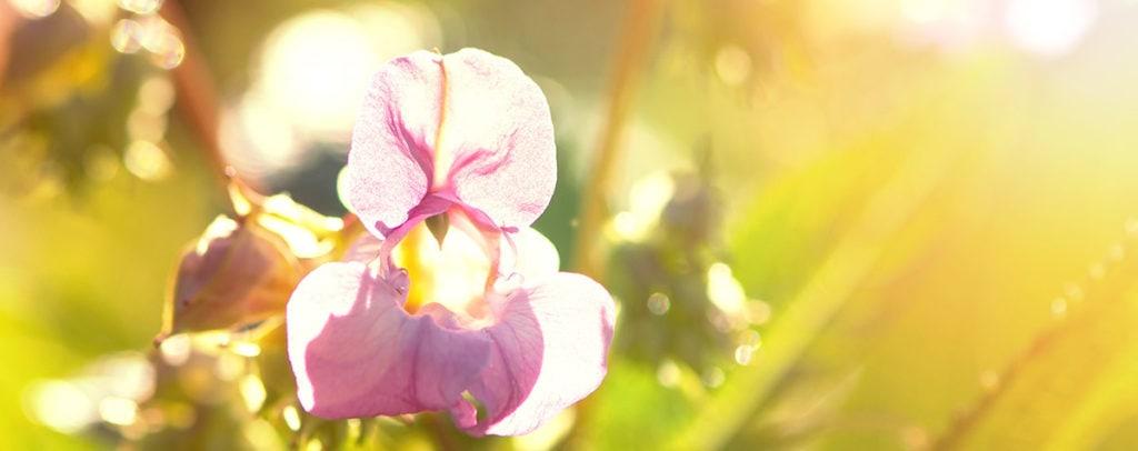 Impatiens Fleur de Bach Bio Laboratoires Bioligo