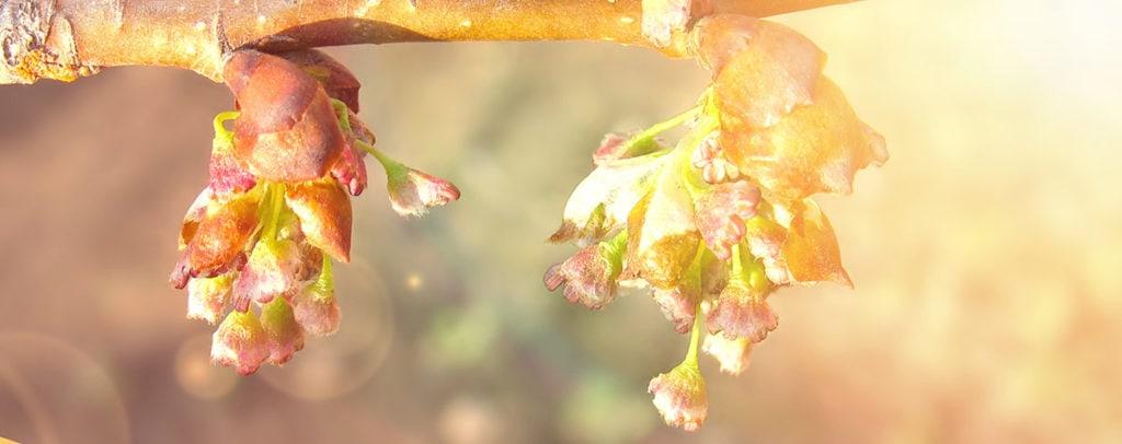 Elm Fleur de Bach Bio Laboratoires Bioligo
