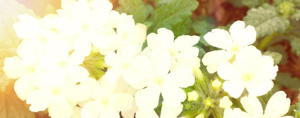 Vervain Fleur de Bach Bio Laboratoires Bioligo